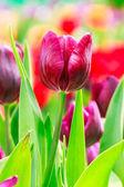 紫チューリップ — ストック写真