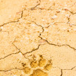 Dog footprint on dry crack soil — Photo