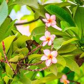 Frangipani, red Plumeria flower — Stock Photo