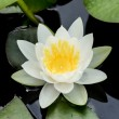 White water lily or lotus — Stock Photo