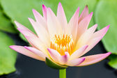 Purple water lily or lotus — Stock Photo