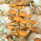 Yanagi Mutsutake mushrooms — Stock Photo