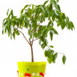 Tangerine tree in rhe pot — Stock Photo
