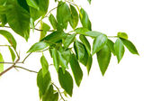 Tangerine tree leaves on the white background — Stock Photo