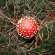 Stock Photo: Red amanit- poisonous mushroom.