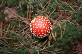 Red amanita - poisonous mushroom. — Stock Photo