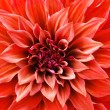 Red Dahlia flower — Stock Photo #15822483