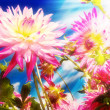 Dahlia flowers in sunrays — Stock Photo