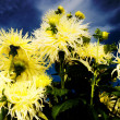 Stock Photo: Yellow Dahliin night