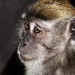 Stock Photo: Monkey portrait