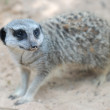 Side face portrait of a meerkat - Stock Photo