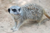 Side face portrait of a meerkat — Stock Photo