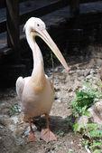 великий белый пеликан — Стоковое фото