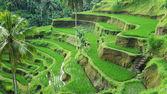 Green rice terraces. — Stock Photo