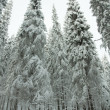 Snowy forest. Winter in northern Russia. — Stock Photo #19074351