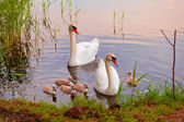 Swans with nestlings at  sunset — Photo