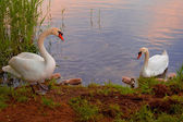 Swans with nestlings at  sunset — 图库照片
