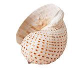 Beyaz arka plan üzerinde izole seashell — Stok fotoğraf