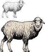 Domestic sheep — Stock Vector