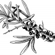 Sea-buckthorn berries — Stockvectorbeeld
