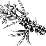 Sea-buckthorn berries — Stock Vector