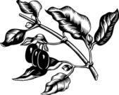 Cornelian cherry — Stock Vector