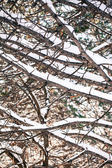 Tent of snow covered branches — Stock Photo