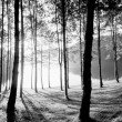Pine forest national park — Stock Photo