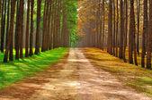 在泰国-季节变化 c 在早上采取一片松树林 — 图库照片
