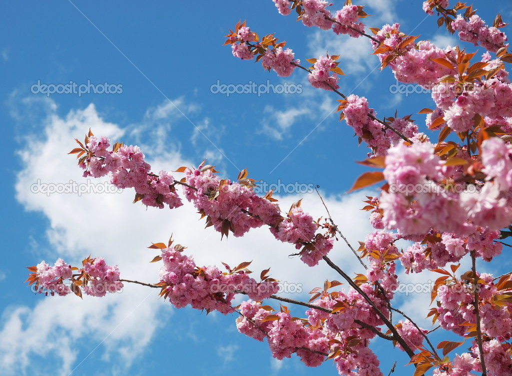 Cherry blossoms on sunny sky backgrounds. — Stock Photo #21151065