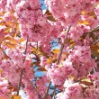 Cherry blossoms — Stock Photo #21248735