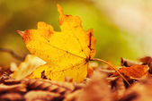 Fallen autumn leaf — Stock Photo