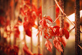 Red ivy on fence — Stockfoto