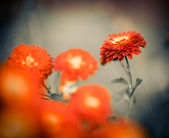 Red fall flower — Stock Photo