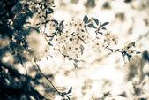 Kwiaty wiśni — Zdjęcie stockowe