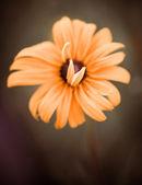オレンジ色の花 — ストック写真