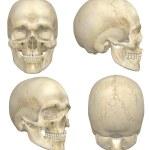 Human Skull — Stock Photo #13122778