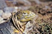 Galapagos land iguana, galapagosöarna, ecuador — Stockfoto