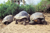 Giant tortoise, Galapagos Islands, Ecuador — Stock Photo