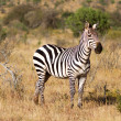 Zebra in the grasslands of the Serengeti at dawn, Kenya, East Africa - Stock Photo
