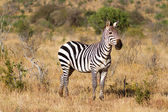 Zebra in the grasslands of the Serengeti at dawn, Kenya, East Africa — Stock Photo