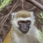 A vervet monkey — Stock Photo
