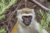 A vervet monkey — Stock Photo