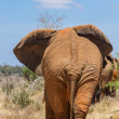 Rear view of an elephant — Stock Photo