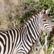 Zebra in Kenya&#039;s Tsavo Reserve - Stock Photo