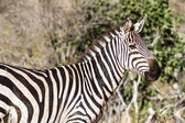 Zebra in Kenya's Tsavo Reserve — Stock Photo