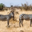 Zebras in Kenya&#039;s Tsavo Reserve - Stock Photo
