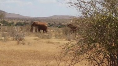 Elephants walking in Tsavo National Park - Kenya — Stock Video