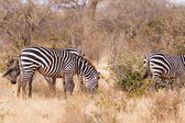 Zebras in Kenya's Tsavo Reserve — Stock Photo