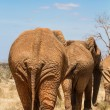 Rear view of an elephants — Stock Photo